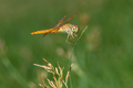 Dragonfly on top of the grass closeup