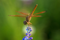 Dragonfly sitting on top of purple flower in the garden close up