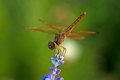 Dragonfly on blue flower in the garden closeup