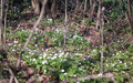 spring forest flowers