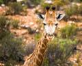 baby giraffe in Cape Town park