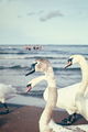 Old film retro stylized picture of swans on a beach.