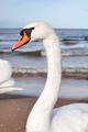 Portrait of a mute swan on a beach