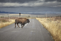 Young American bison running across road in Grand Teton National