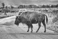 Black and white photo of an American bison crossing road, Wyomin
