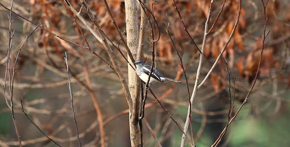 Oriental Magpie Robin II