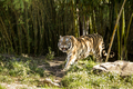 Tiger walking out from dark bamboo forest