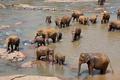 Elephants on Sri Lanka