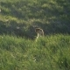 Groundhog on a Background of Green Grass.