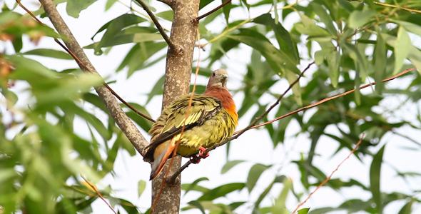 Wild Pink Necked Green Pigeon III