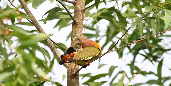 Pink Necked Green Pigeon Full HD IV