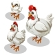 Maturation Stages of the Chicken, Cartoon Style
