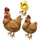Stages of Growing Brown Chicken. Vector Birds