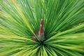 Merkus pine