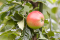 Red apples detail on a tree. Green background. Agriculture. Food