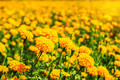 Marigold with natural in gardens.
