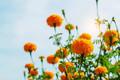 marigolds in the garden at sky.