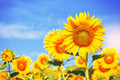 Yellow sunflowers with sky.