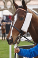 Race horse head ready to run. Paddock area. Vertical
