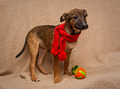Portrait of a  puppy in red scarf