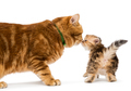 Little kitten and adult cat breed British
