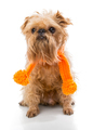 Brussels Griffon orange scarf
