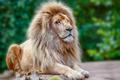 Proud lion portrait
