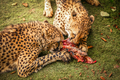 Cheetah feasting on meat