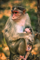 A wild macaque monkey family