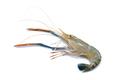 Fresh shrimp,prawn isolated
