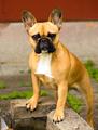 French Bulldog Pure Breed Canine Dog Animal Frenchie