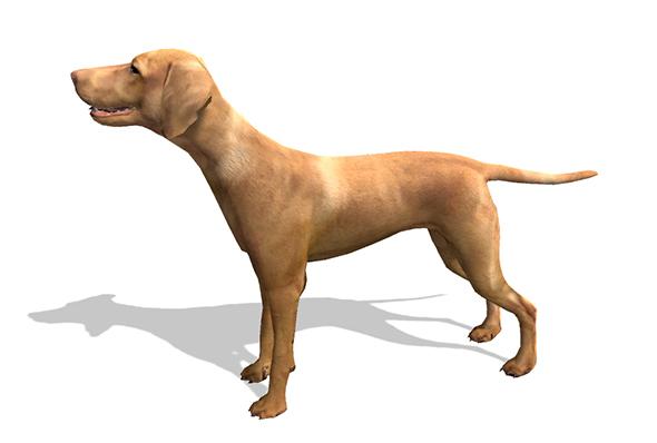 3DOcean Vizsla Dog 20092970