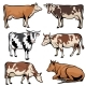 Farm Cows Dairy Cattle in Cartoon Vector Style