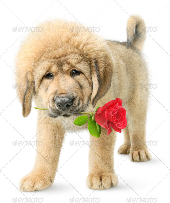 Funny puppy with red rose - Stock Photo - Images