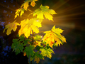 Large fresh maple leaves with sun shinning through