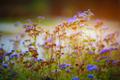 purple meadow flowers blossom in the garden in early sunrise