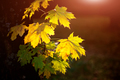 Large fresh green and yellow maple leaves with sun shinning thro