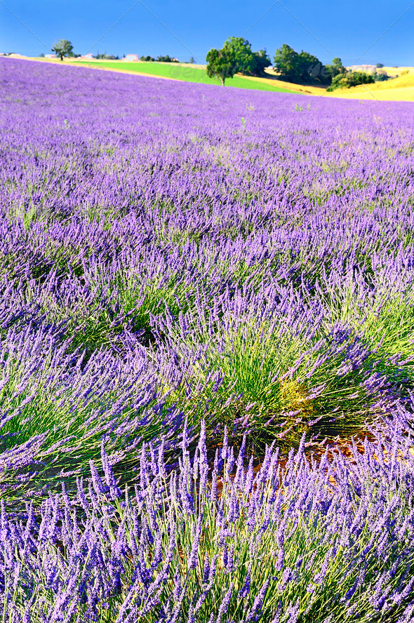 Lavender in the landscape - Stock Photo - Images
