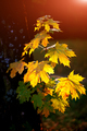 green and yellow maple leaves with sun shinning through