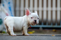 Young french bulldog white Playing on the floor.
