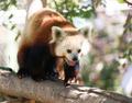 Red Panda Wild Animal Walking Down Tree Limb