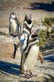 Penguin shouting loudly