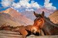 Brown horse in the Andes