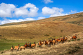 Wild patagonian horses