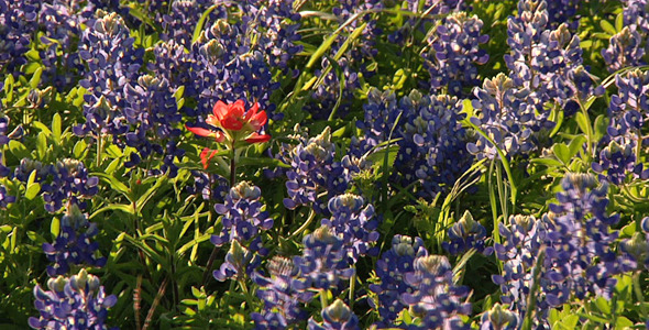 Paint Brush And Bluebonnets