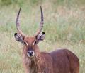 Defassa Waterbuck Kenya - PhotoDune Item for Sale