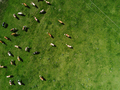 Aerial view of cows herd grazing on pasture