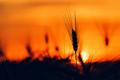 Wheat ear in sunset