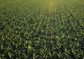 Corn field from drone point of view