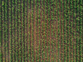Drone pov of corn maize field